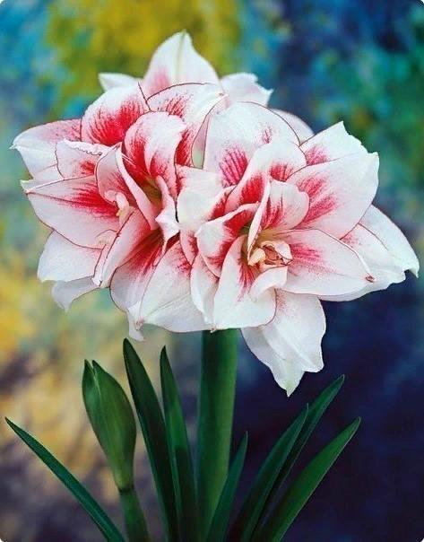 Уход за гиппеаструмом после цветения. Основные правила.