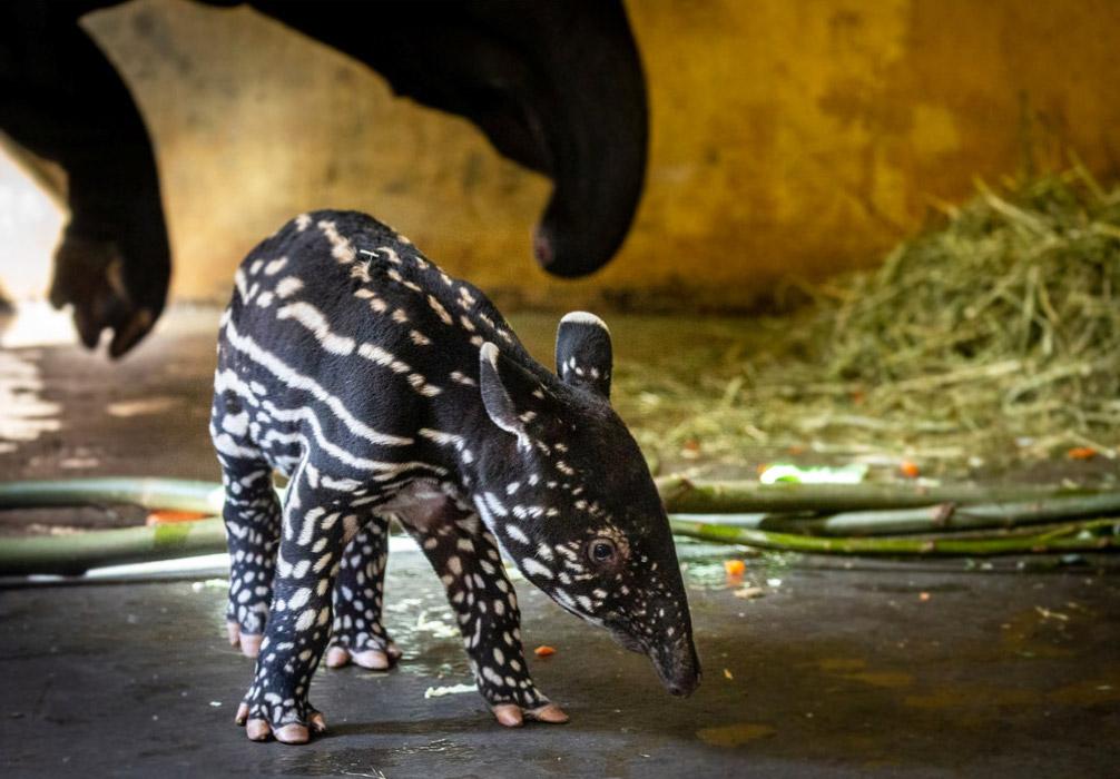 В немецком зоопарке родился невероятной красоты Тапир