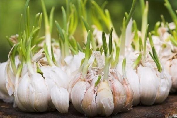 САДИМ ЧЕСНОК ВЕСНОЙ Излишки чеснока, которые не были израсходованы за зиму, лучше всего разобрать на дольки, очистить от чешуи и сразу же замочить в любом стимулирующем рост растворе на 7- 9