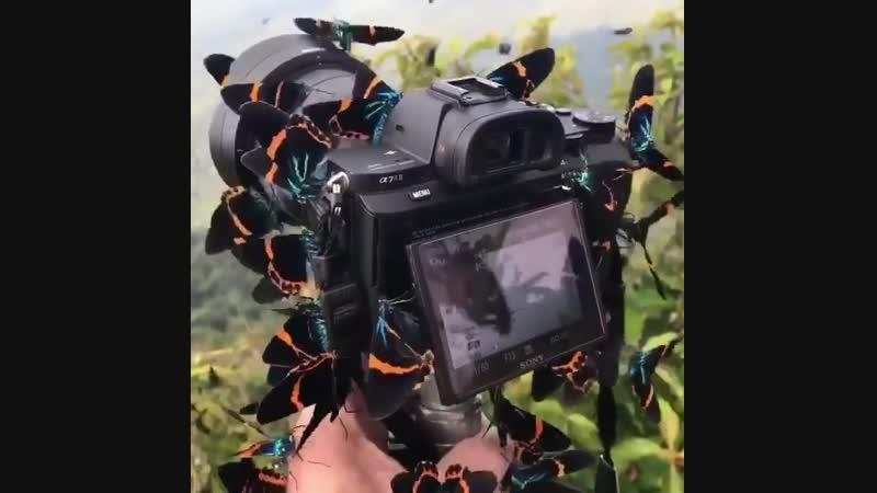 Утро на горе Бокор, Кампот, Камбоджа. Эти великолепные бабочки покрывали меня с головы до ног.