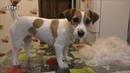 Груминг тримминг Джек Рассел терьера дома Trimming Grooming Jack Russell Terrier