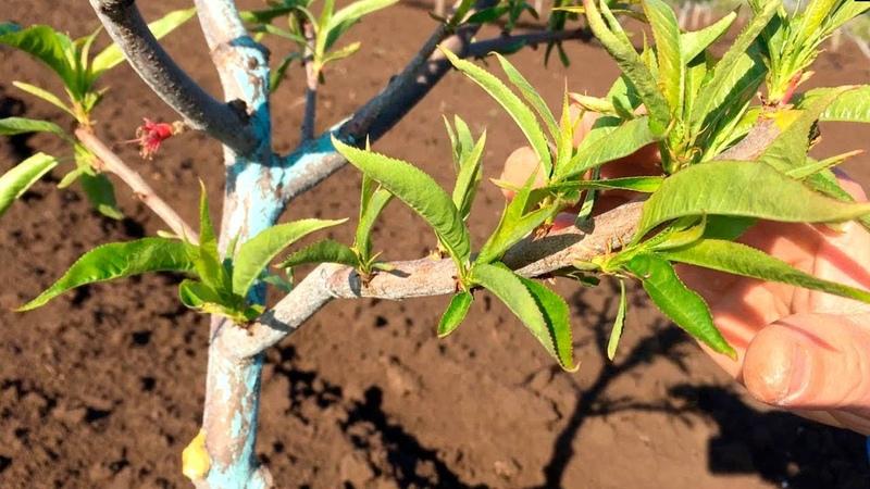 НЕ ОПОЗДАЙТЕ Весенняя обработка персика Опытный участок peach spring treatment