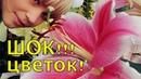 Хотите КРУПНЫЕ цветы у ЛИЛИЙ? - делайте ТАК. Подкормка лилий перед цветением