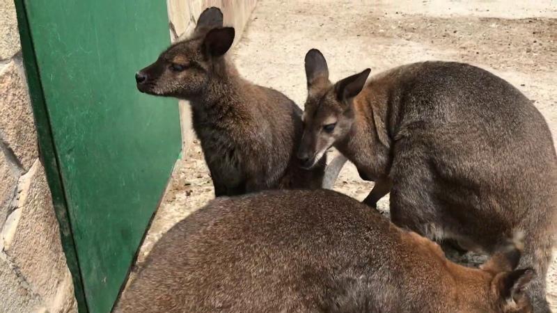 Кенгуру в Бабушкином дворике Тайган Kangaroo in Crimea