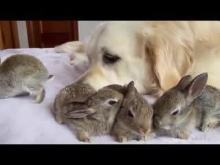 Зайчата приняли собаку за маму