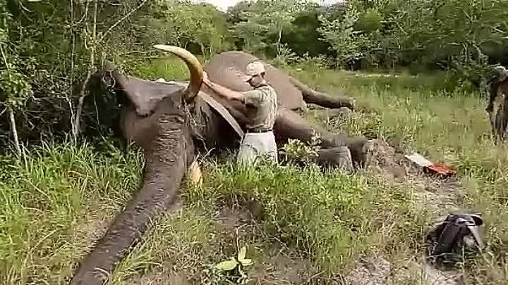 Как звучит храп слона