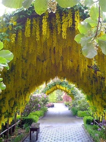 Бесподобно красивая арка из жёлтых цветов. Кто знает название