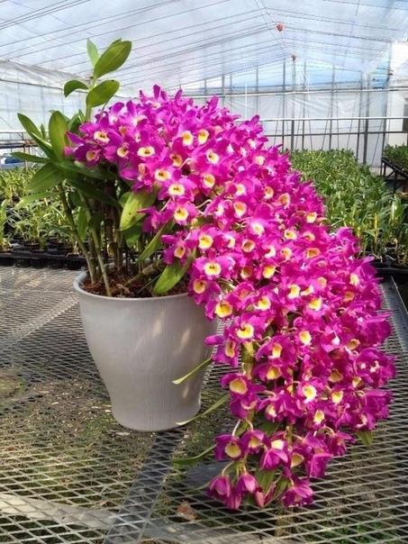 Чудо-орхидея