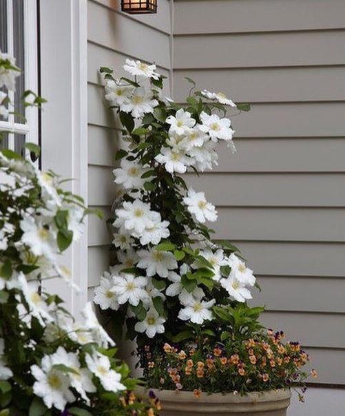 Клематис в саду . Вам нравится это растение Есть ли оно у вас на участке(источник: gofazenda)