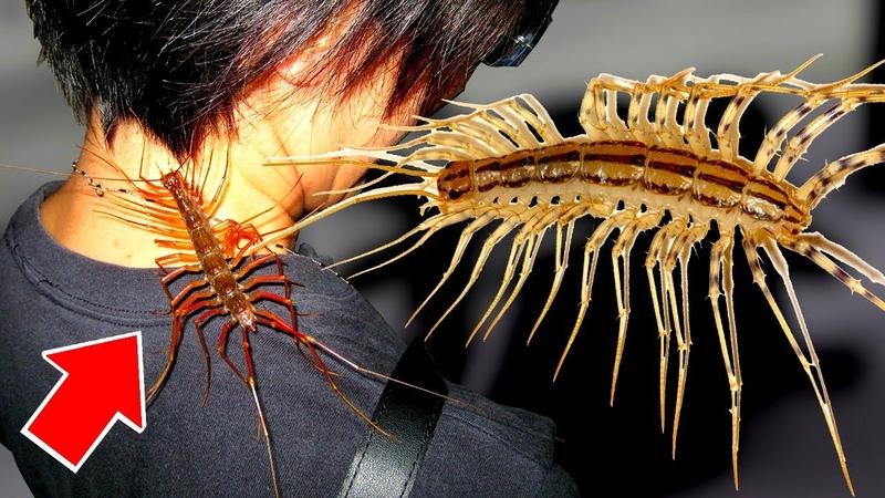 Почему НЕЛЬЗЯ убивать МУХОЛОВКУ 10 фактов о мухоловке или домашняя многоножка