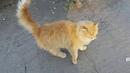 Кот рыжий Вася гуляет со мной.