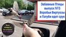 Смешные Птицы Воробьи Виртуозы Голуби едят с рук Выпуск № 3 смотрите на ютуб