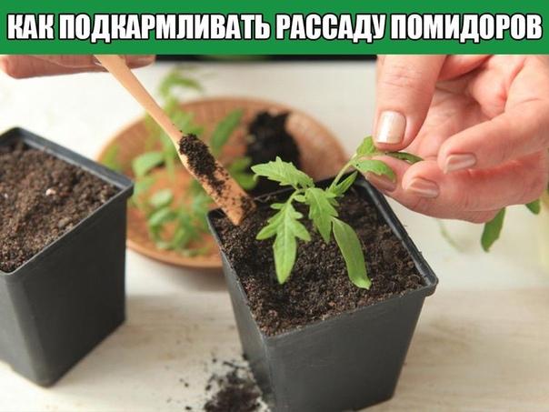 Как подкармливать рассаду помидоров