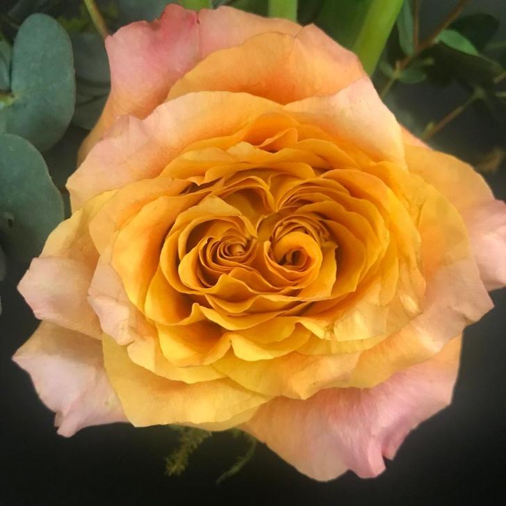 Роза с двумя сердцевинами. Редкое явление