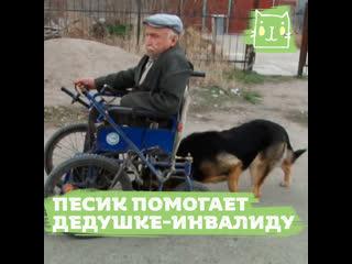 Пес каждый день помогает дедушке-инвалиду доехать до дома