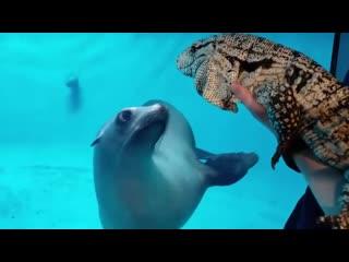 Морской лев и тегу познакомились 2ch webm