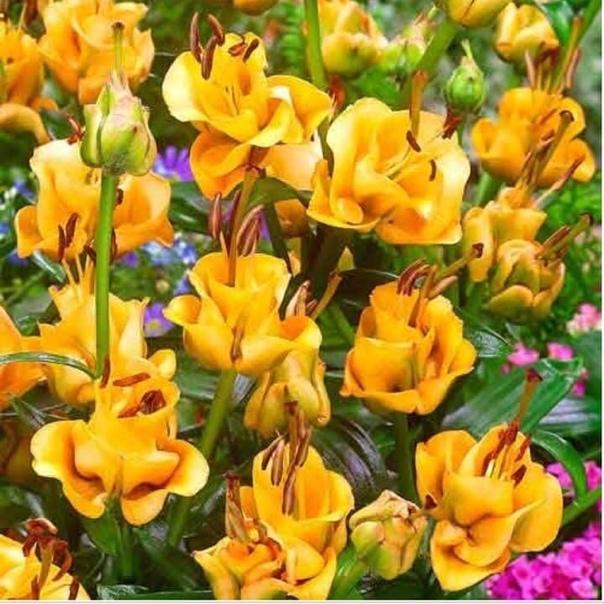 Лилия азиатский гибрид Apricot Fudge ( Эприкот Фадж , лилия - роза . А вы видели такую красоту!(источник: gofazenda)