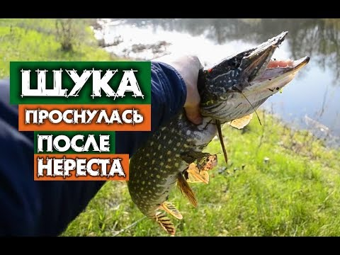ЩУКА АКТИВНО КЛЮЕТ ПОСЛЕ НЕРЕСТА ! Pike is actively caught spinning after spawning!
