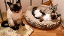 Как тайские котики нежатся утром после сна! Тайские кошки - это чудо! Funny Cats