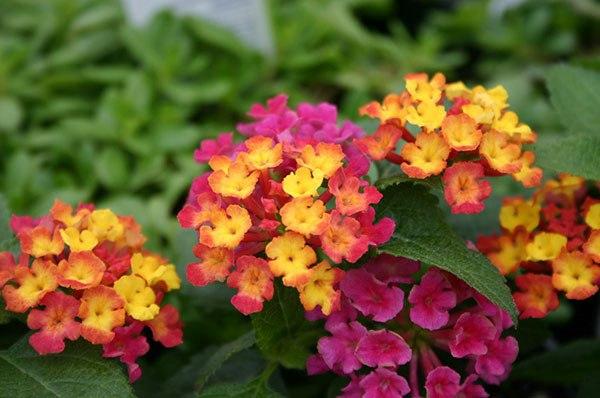 Самые красивые и необычные комнатные растения В коллекциях цветоводов-любителей сегодня можно встретить цветы со всего мира. Сложно представить, сколько наименований сегодня включает полный