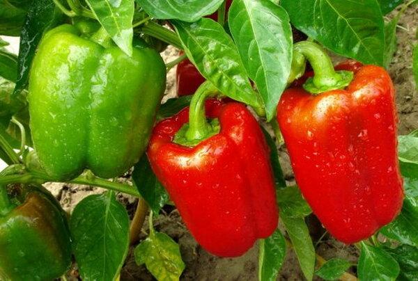 Как подкормить дрожжами сладкий перец: натуральный стимулятор роста.