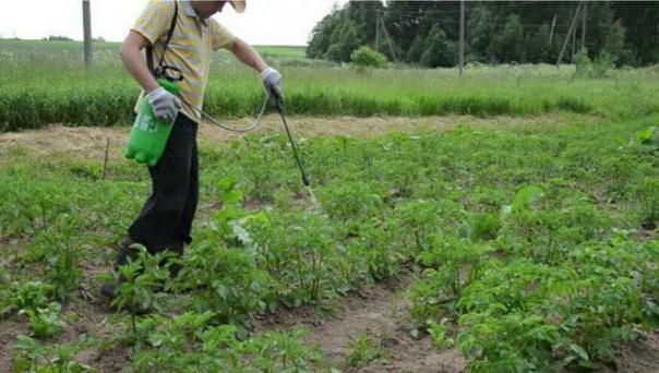 Все способы борьбы с колорадским жуком: выбираем лучший. Часть 2.Средство из самих жуковКолорадские жуки содержат токсины, поэтому как бы это необычайно ни звучало, но жуки могут погибнуть от