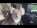 7 News Adelaide Only in Australia after a local winemaker left the car door open, a curious koal