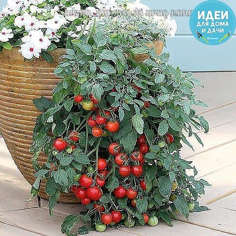 ХОТИТЕ ПОМИДОР КУПИТЕ...ТРИХОПОЛ! Садоводы - с тревогой ждем сезона вспышки фитофтороза на помидорных грядках. Более страшной болезни, способной за неделю «спалить» томаты, не существует.
