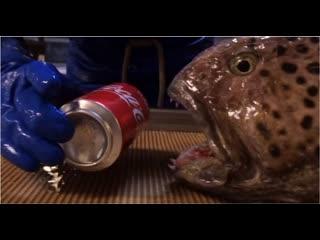 Челюсти зубатки продолжают работать даже после смерти рыбы