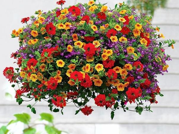 Правильный уход за ампельными растениями Для пышного роста и обильного цветения растения поливают и опрыскивают водой 2-3 раза в сутки в жаркую погоду. При затяжных дождях рекомендуется укрытие