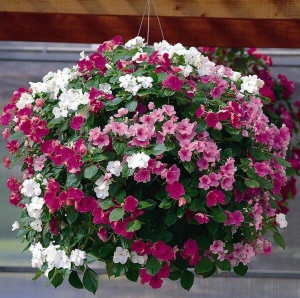 Когда лучше сеять садовые бальзамины