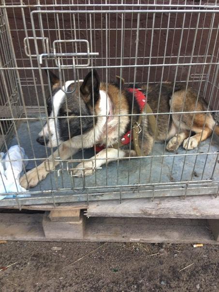 Гниющего заживо бездомного пса спасли неравнодушные люди Искренне пожелаем пёселю выздоровления, а неравнодушным к чужой боли людям скажем - Спасибо!!!В городе Нелидово активисты на протяжении