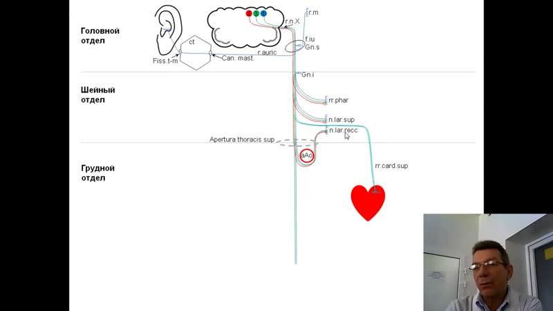 Блуждающий нерв анимационная схема проф В А Изранов
