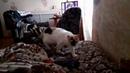 Кошка нежится , разговаривает и машет лапкой😸
