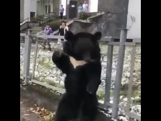 В Сибири медведя привязали к забору, завлекая людей в цирк