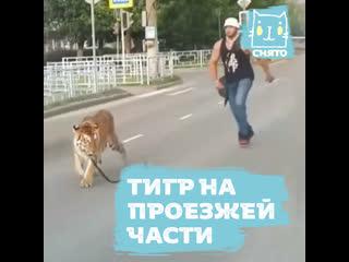 Тигр сбежал от дрессировщика посреди проезжей части в Иваново