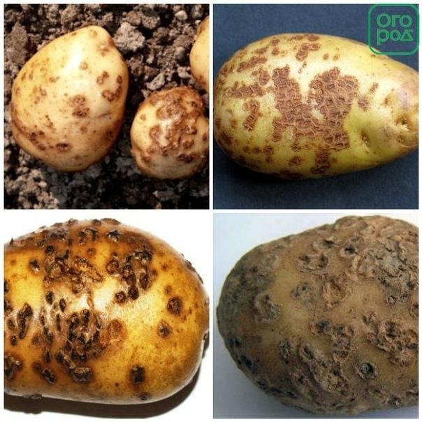 Из-за чего в погребе гниет картофель 6 самых опасных болезней. Мы подскажем, по каким признакам определить болезнь клубней и как действовать, чтобы спасти урожай. Картофель второй хлеб, самый