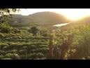 Harbor tea plantation during sunset