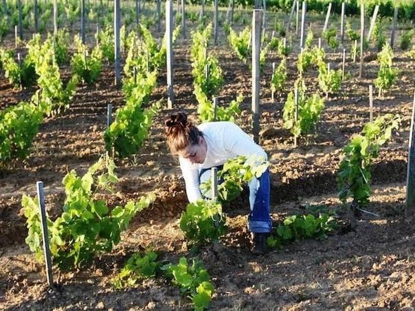 Основные ошибки при уходе за молодым виноградом Виноград выращивается на многих приусадебных участков. При соблюдении всех норм агротехники, можно обеспечить его качественный рост, развитие,