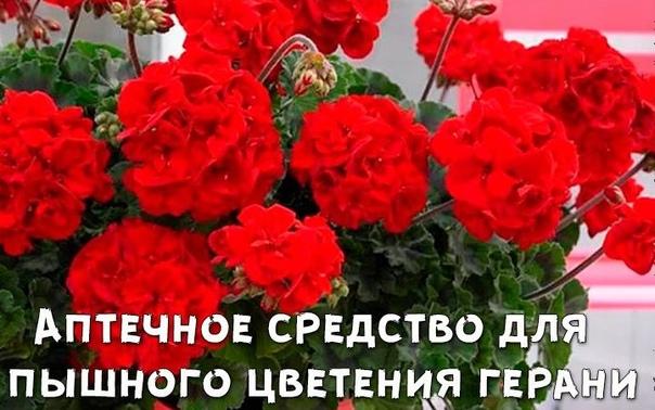 Аптечное средство для увеличения количества соцветий герани.