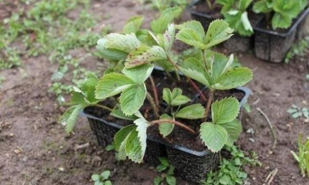 Как правильно посадить клубнику в августе, чтобы получить превосходный урожай на будущий год