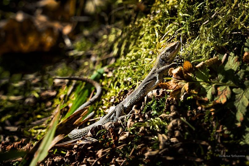 Первая ящерка вылезла погреться на солнце. После зимы ящерки ещё не такие подвижные. Она как-будто оттаивает от зимнего сна. И это даёт возможность поснимать ящерку во всех ракурсах.