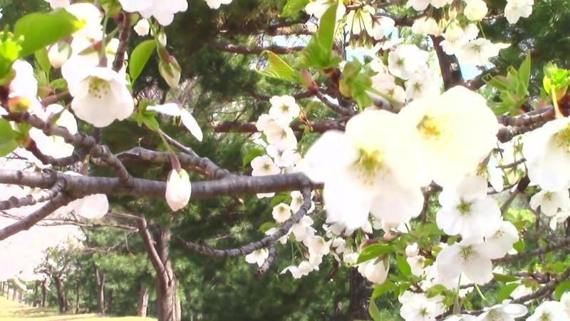 Цветущая Дикая Вишня и Магнолия Красивая Весна и Природа в Южной Кореи Spring in South Korea
