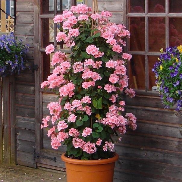 А Вы хотели бы вырастить пеларгоневое дерево у себя на участке