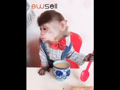This monkey has become refined Nothing can stump him