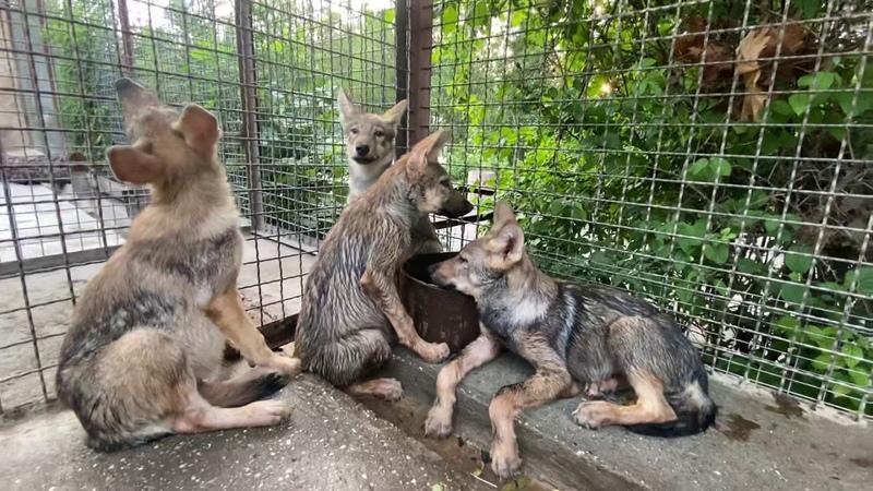 У спасенных волчат НОВЫЙ ВОЛЬЕР