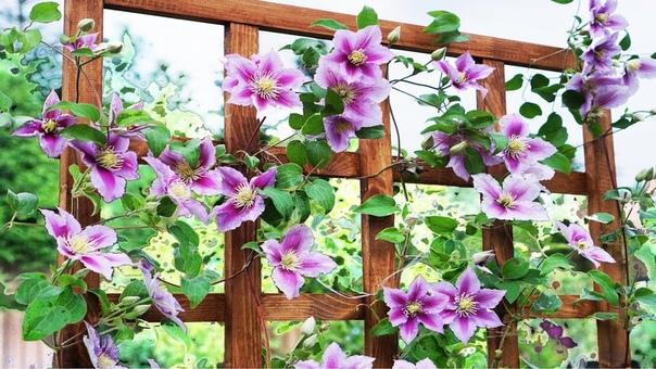 Одни из самых неприхотливых цветов - КЛЕМАТИСЫ