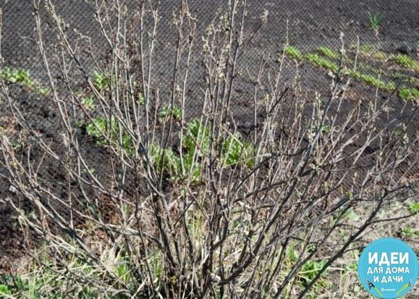 ВЕСЕННИЙ УХОД ЗА ЧЕРНОЙ СМОРОДИНОЙ 1. Замульчируйте почву под растениями, чтобы не только сохранить влагу, но и уничтожить такого опасного вредителя черной смородины, как крыжовниковая