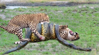 OMG Giant Python Hunt Leopard Cubs When Mother Leopard Hunting Impala, Anaconda vs Crocodile
