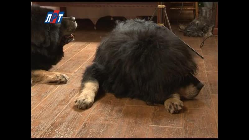 Тибетский мастиф, Собачья жизнь